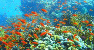 Coral_reef_in_Ras_Muhammad_nature_park_(Iolanda_reef)